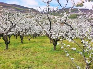 Jerte Valley during spring.