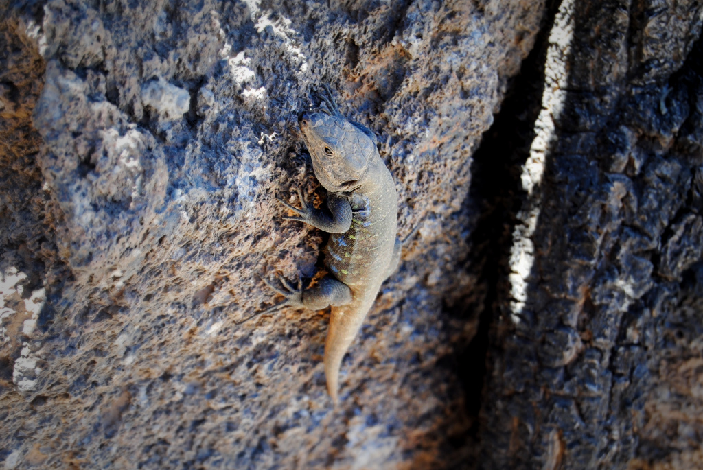 Lizard at Teide National Park.