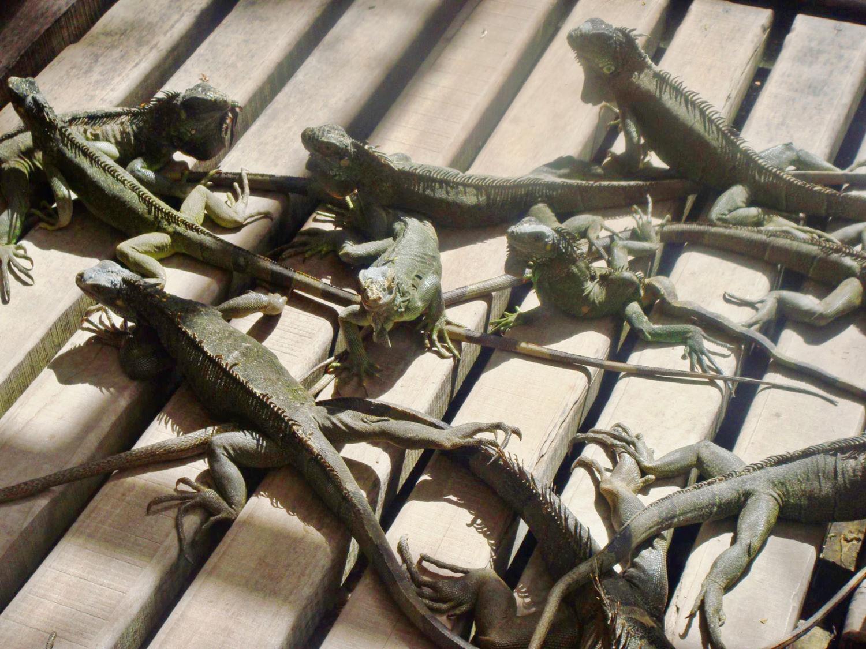 Iguana Farm