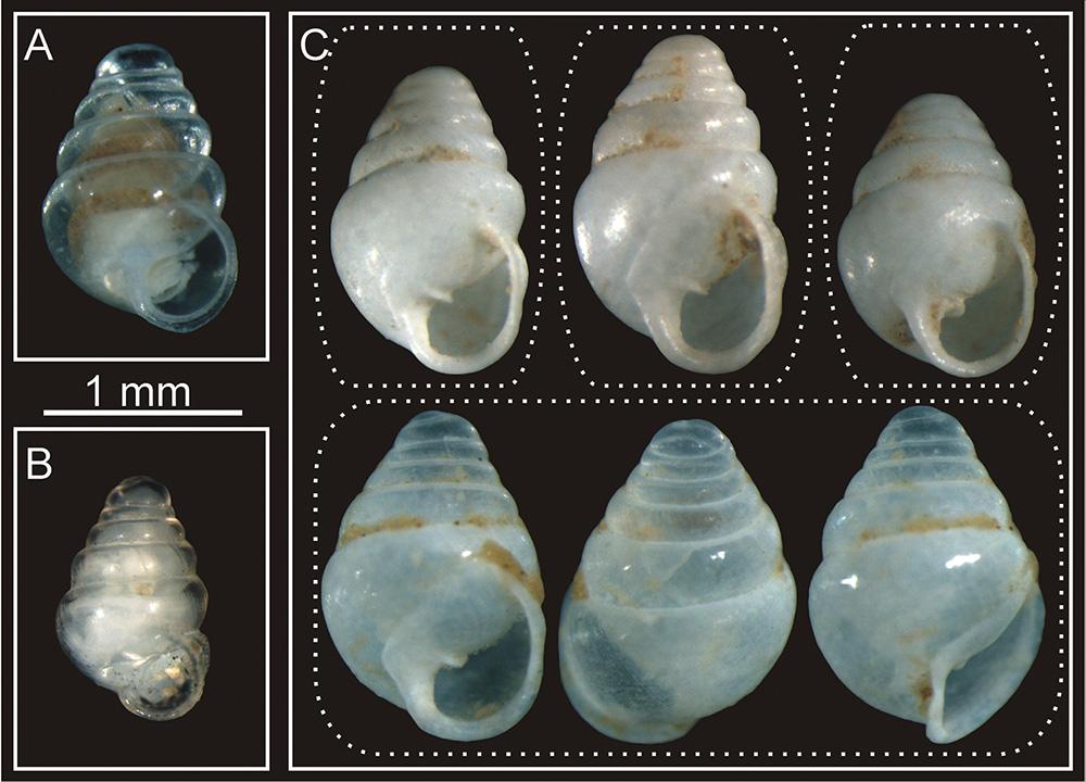 Zospeum snail shells