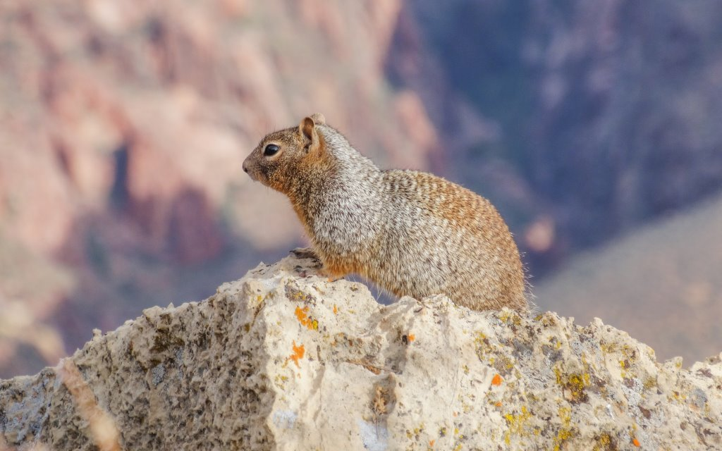 A squirrel poses on a rock near the Grand Canyon