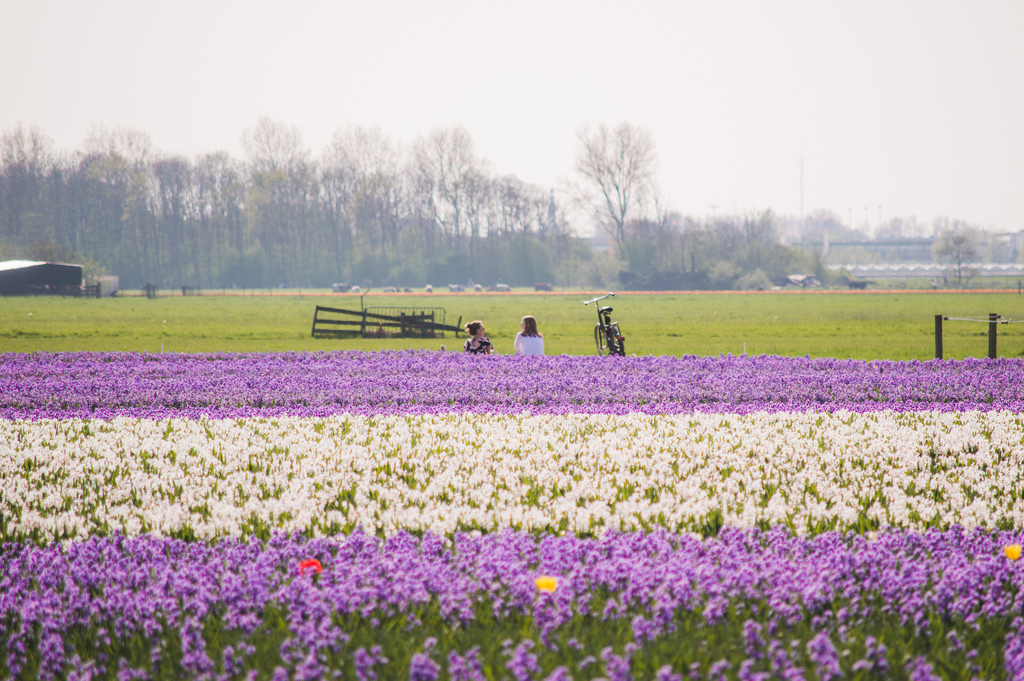 Flower fields in the Netherlands