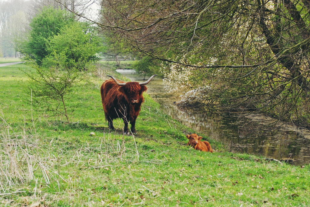 Animals at the Amsterdam Forest (Highland Cattle and newborn calf)