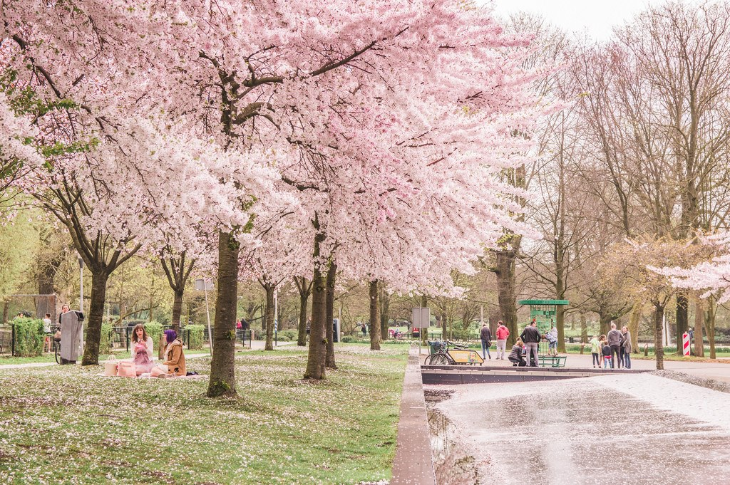 Spring season in the Netherlands: Cherry blossoms at the Westerpark in Amsterdam