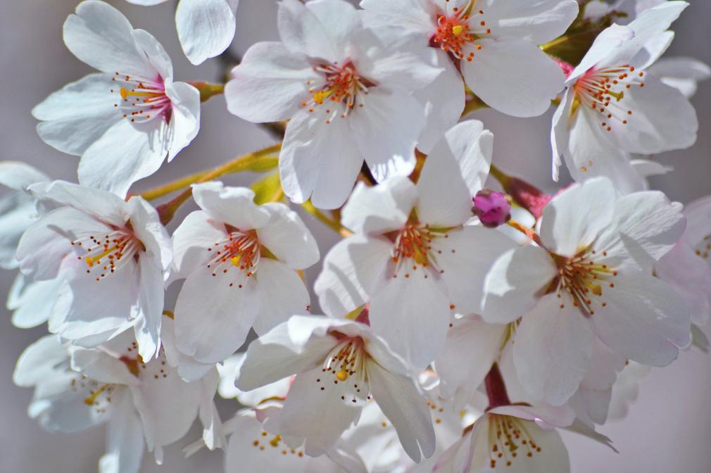 Cherry blossoms up close.
