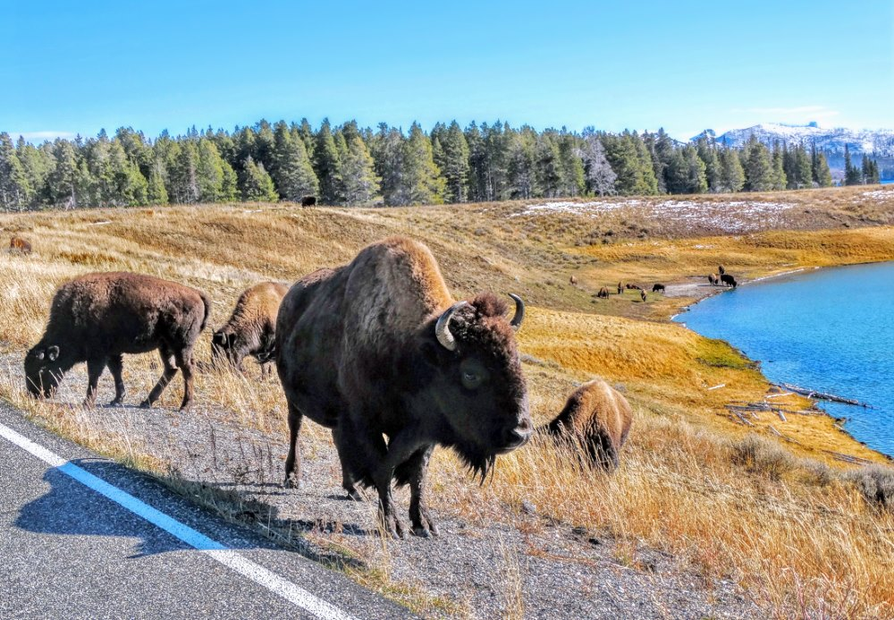 Bizons in Yellowstone Park