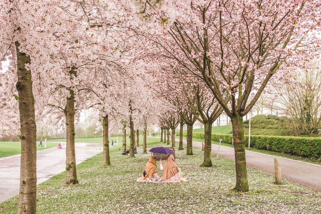 Picnic underneath the pink blossoms in Amsterdam