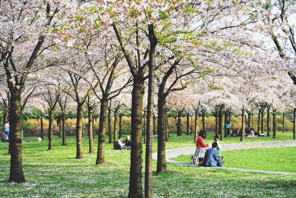 Cherry Blossoms at the Amsterdam Forest