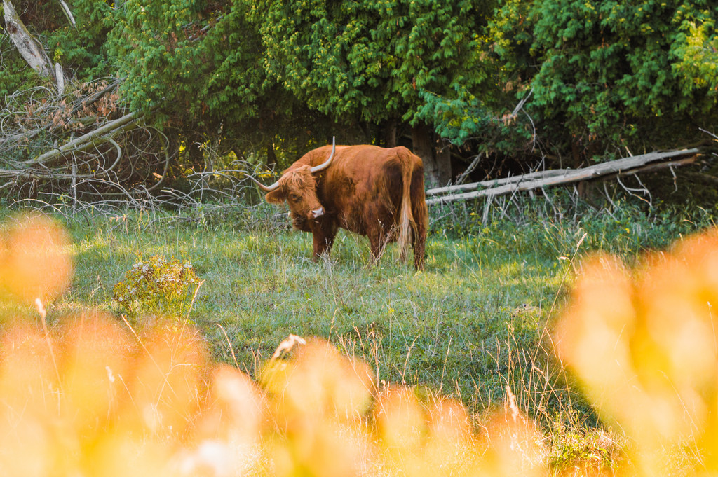 A scottish highlander at the Amsterdam Forest