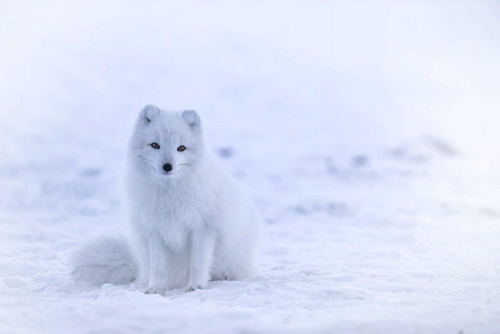 An arctic fox in a polar area